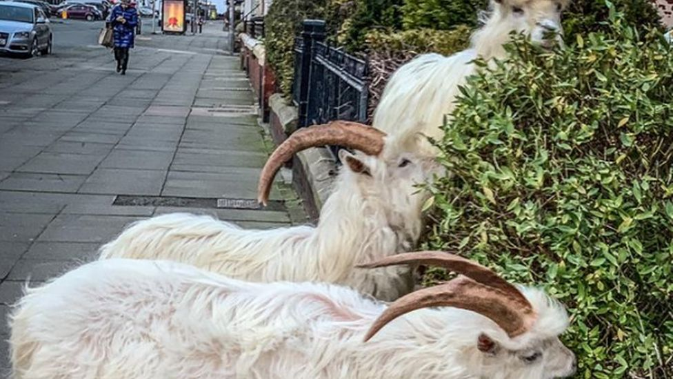 Wild goats flock to Llandudno in bad weather - BBC News