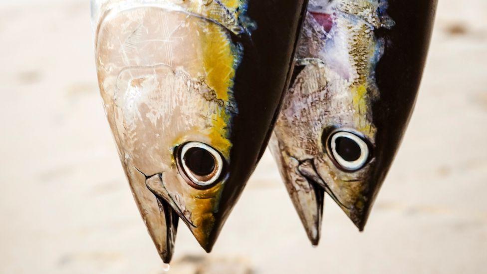 Tuna fish in Mozambique