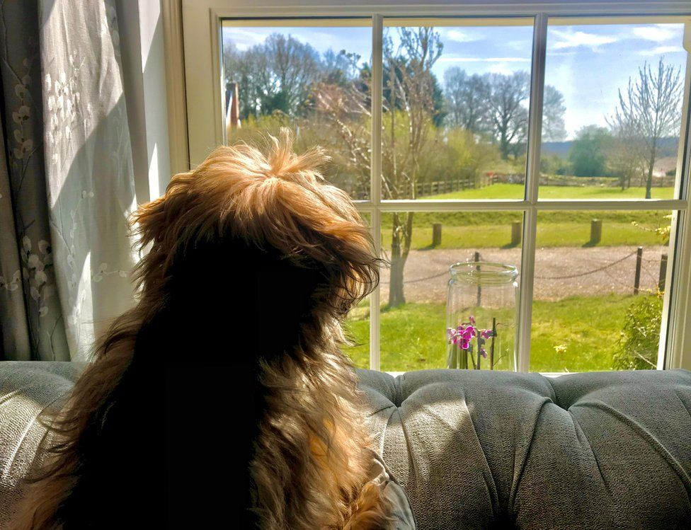 Max the shih tzu looking out the window