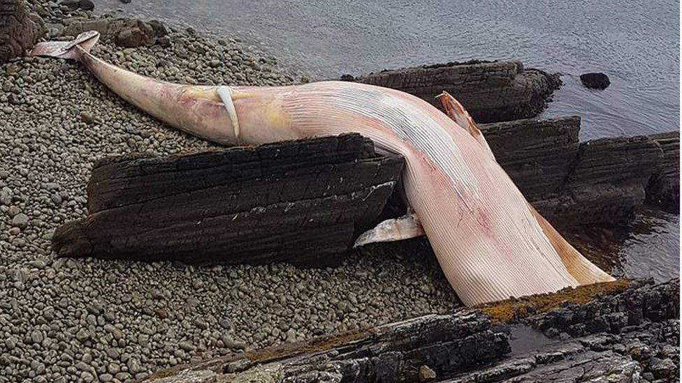 whale carcass at Arranmore