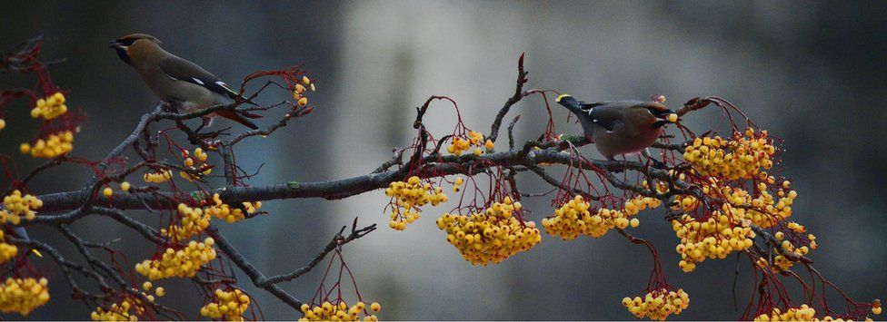 Waxwings in Princes St Gardens