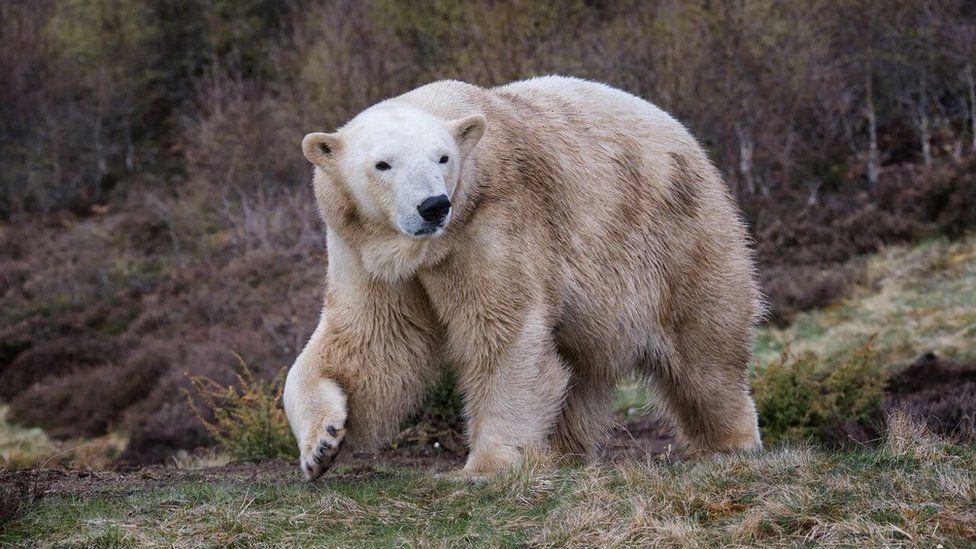 Polar bear Victoria