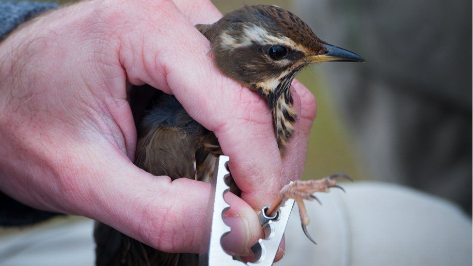 Redwing being tagged
