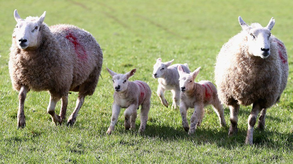 Two sheep and three lambs