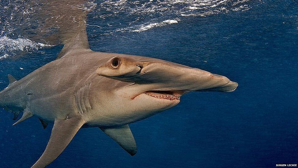 The great hammerhead shark is under threat from illegal fishing