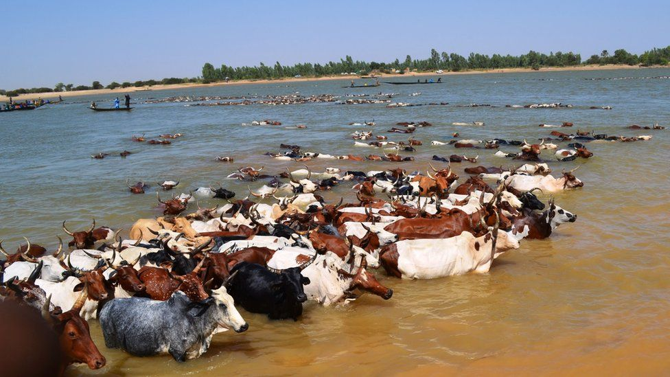 A herd of cattle crossing the Niger river