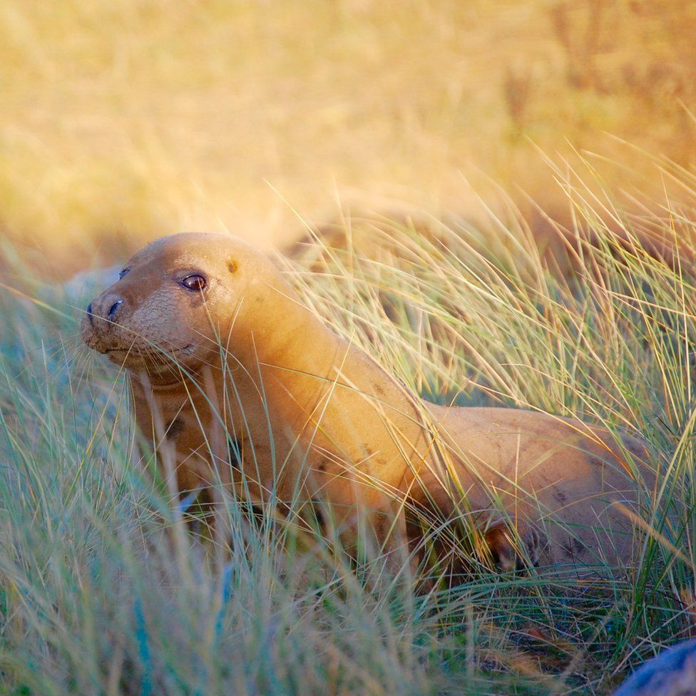 A seal lying in grass