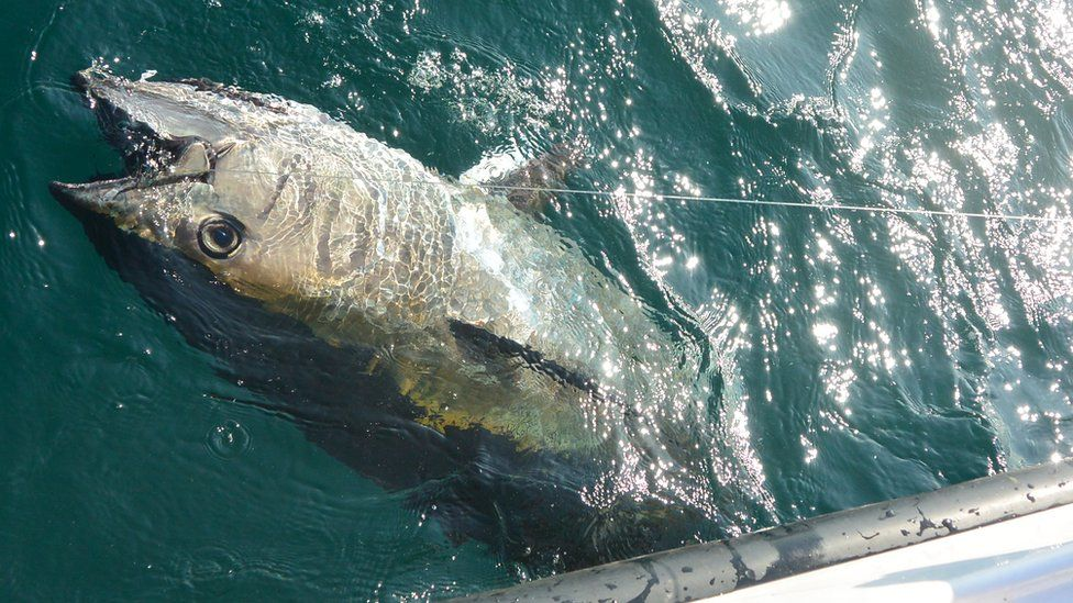 An Atlantic bluefin tuna at the surface of the water, after it was hooked by a recreational angler