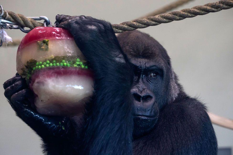 A gorilla enjoys a frozen Christmas treat