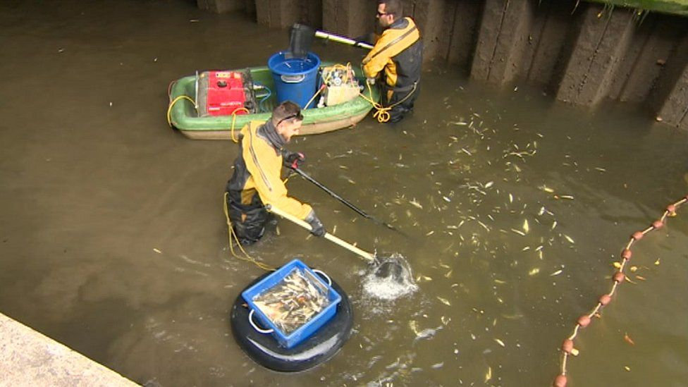 Specialists removing fish from lock