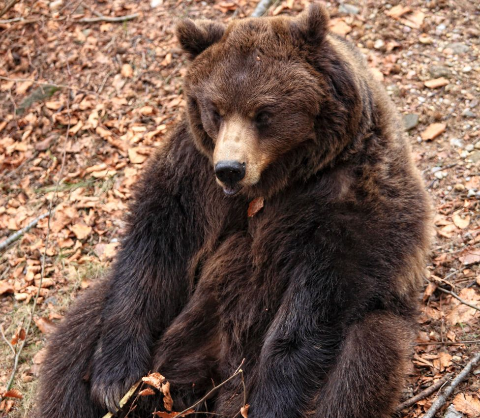 A brown bear in the Italian Alps - file pic