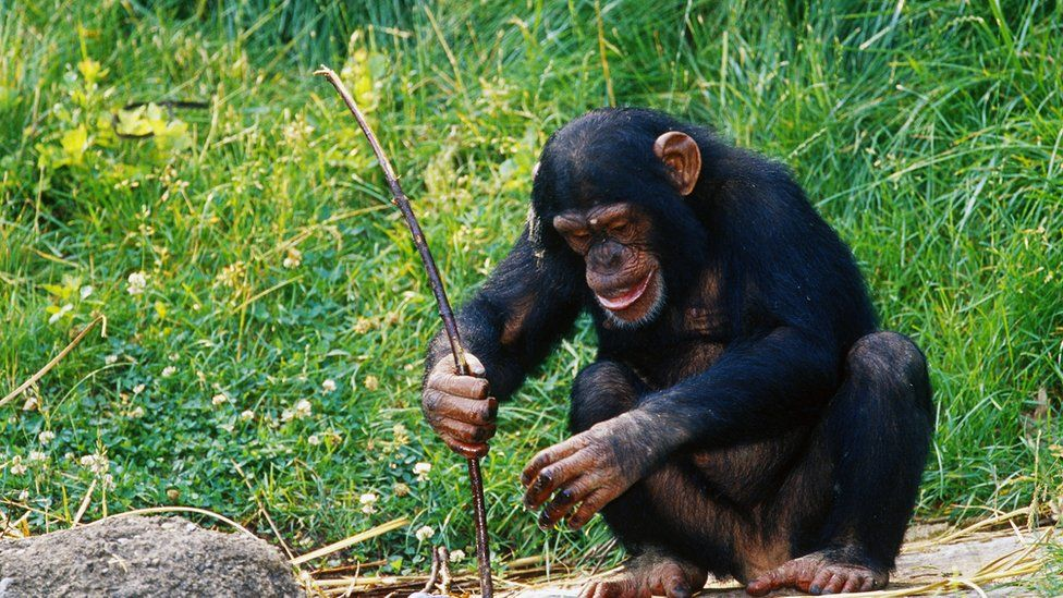 Chimp digging with a tool