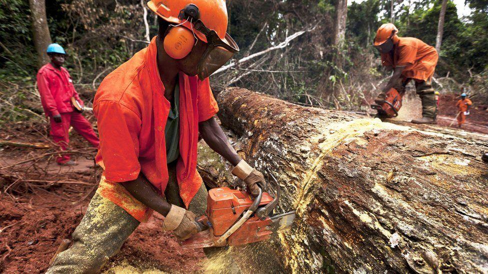 Tree felling in Cameroon