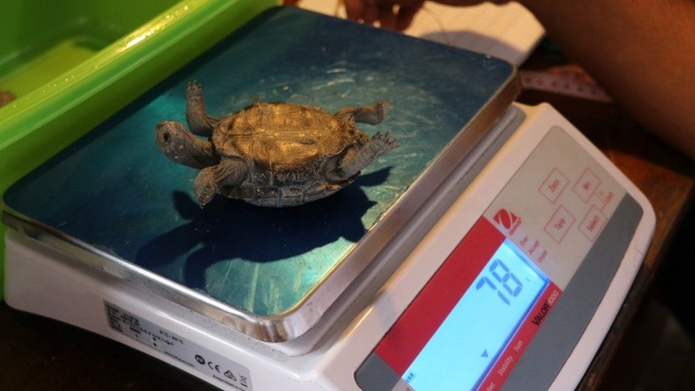 Technicians measuring and weighing the baby turtles that hatched this year in Galapagos