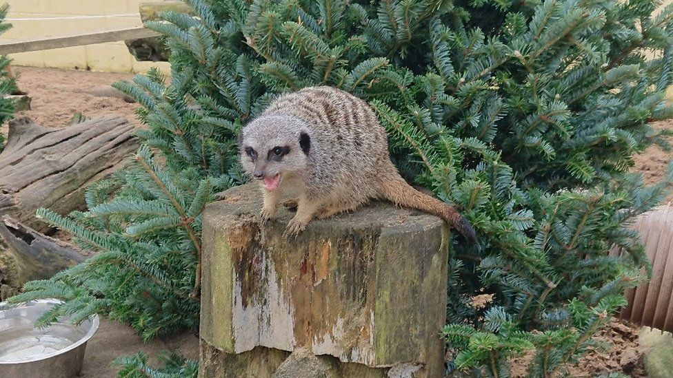 Meerkat at the owl sanctuary