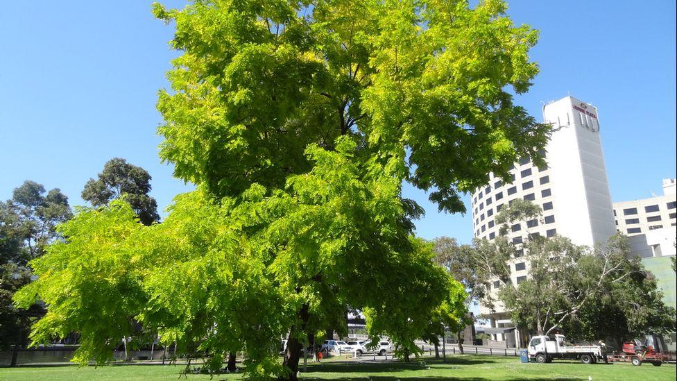 City tree, Melbourne, Australia (Image: Richard Ellis/Flickr)