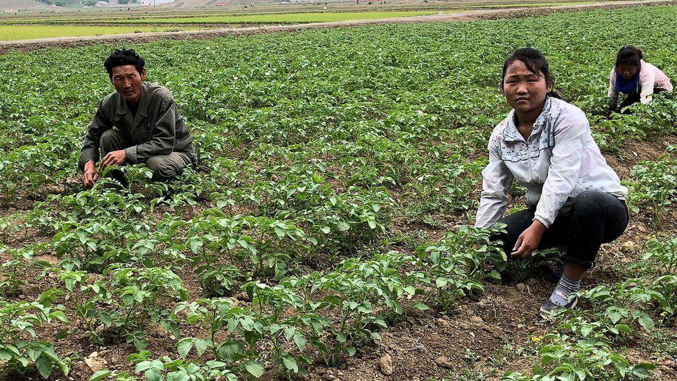 Working in rice fields of the Kochang farm outside Pyongyang