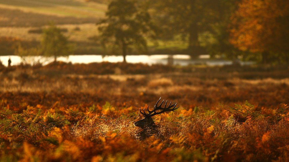 A red deer stag looks for food in a bracken thicket after sunrise in Richmond Park