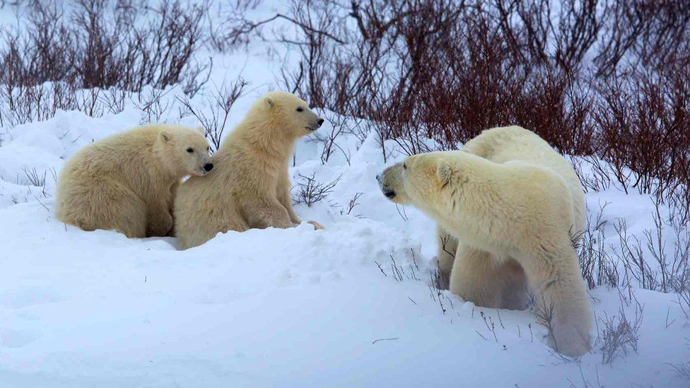 Mother and Cubs of the Year photographed in November 2014 in the tundra at Hudson Bay near Churchill, Manitoba, Canada