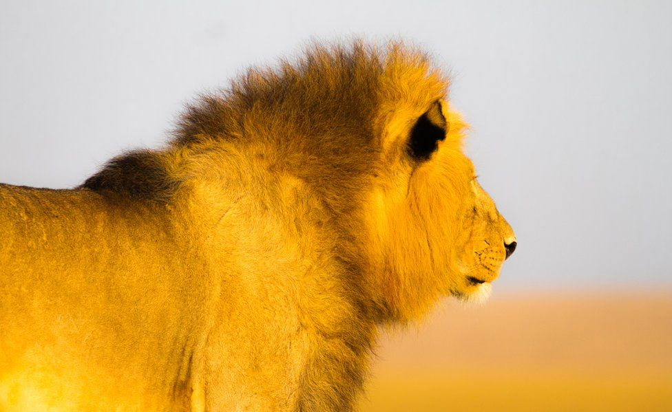 A lion in the sunlight