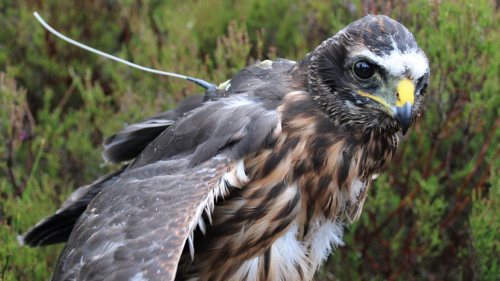 Hen harrier with satellite tag