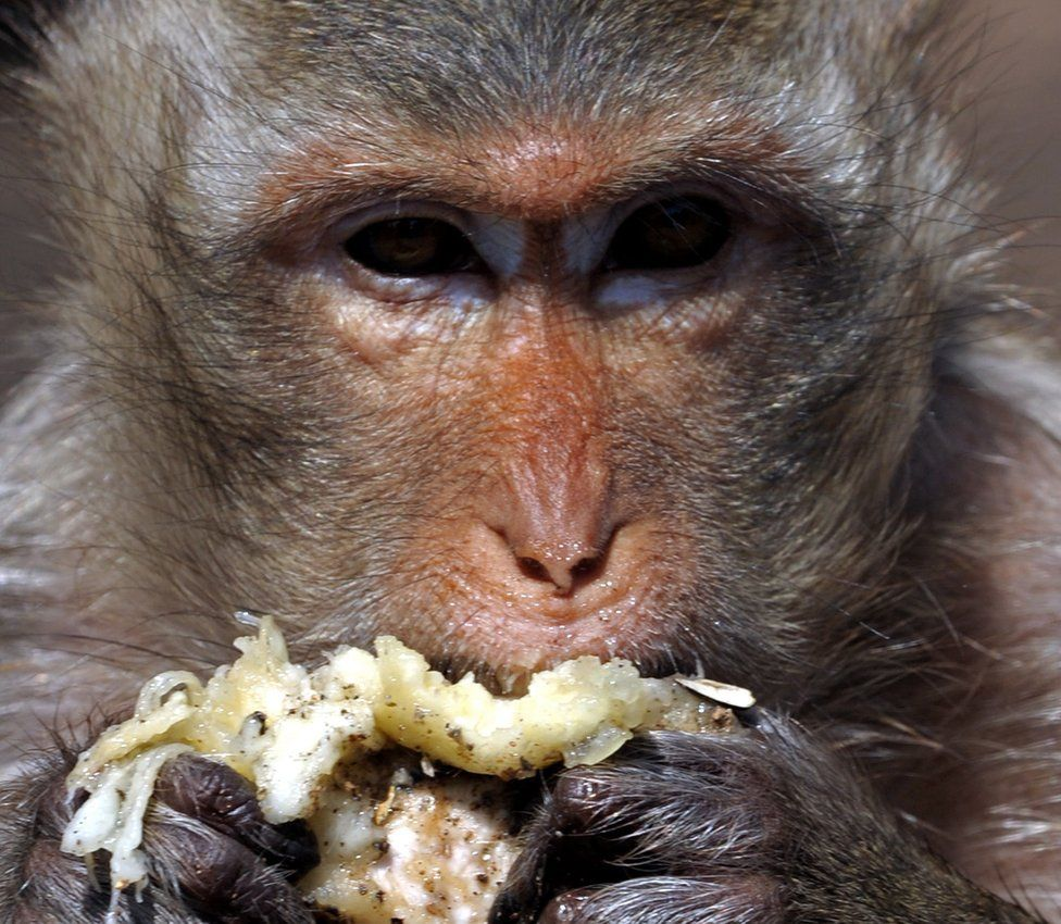 A monkey eats durian at an ancient temple in Thailand