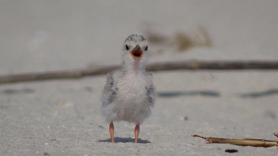A least tern chick