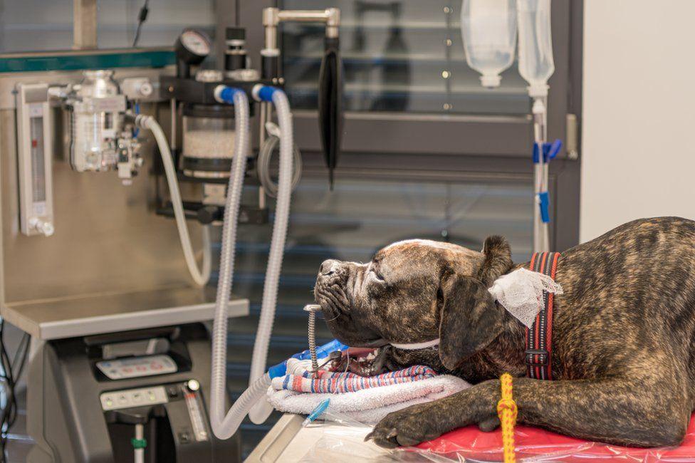 Incubated dog on a ventilator
