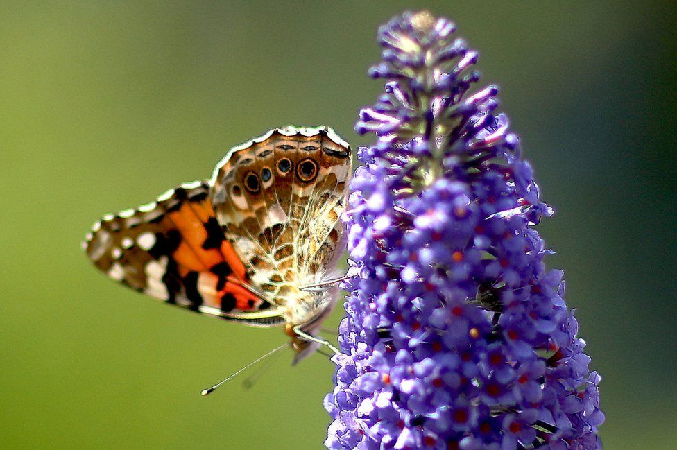 A butterfly perched on a spray of lilac