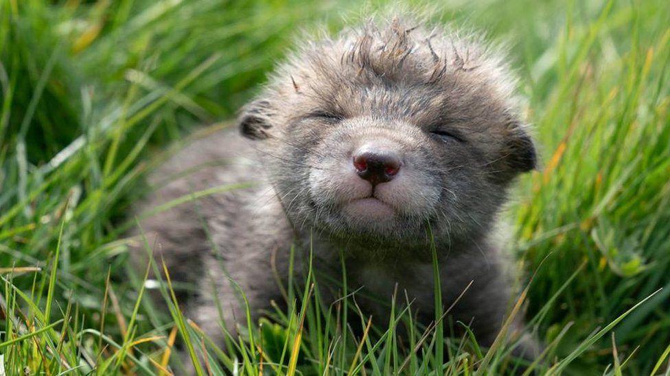Fazendeiro faz cesárea em raposa atropelada e salva 4 filhotes