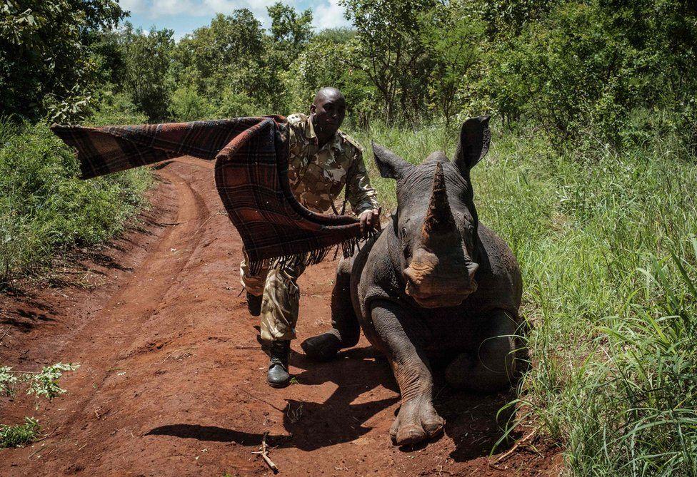 A ranger of Kenya Wildlife Services tries to cover the eyes of female Southern white rhino, Elia.