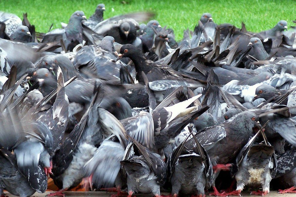 Pigeons looking for food