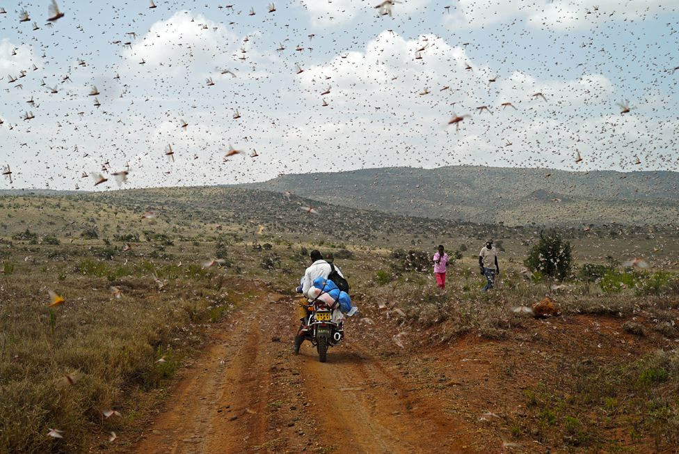 Locusts in Borana, Kenya