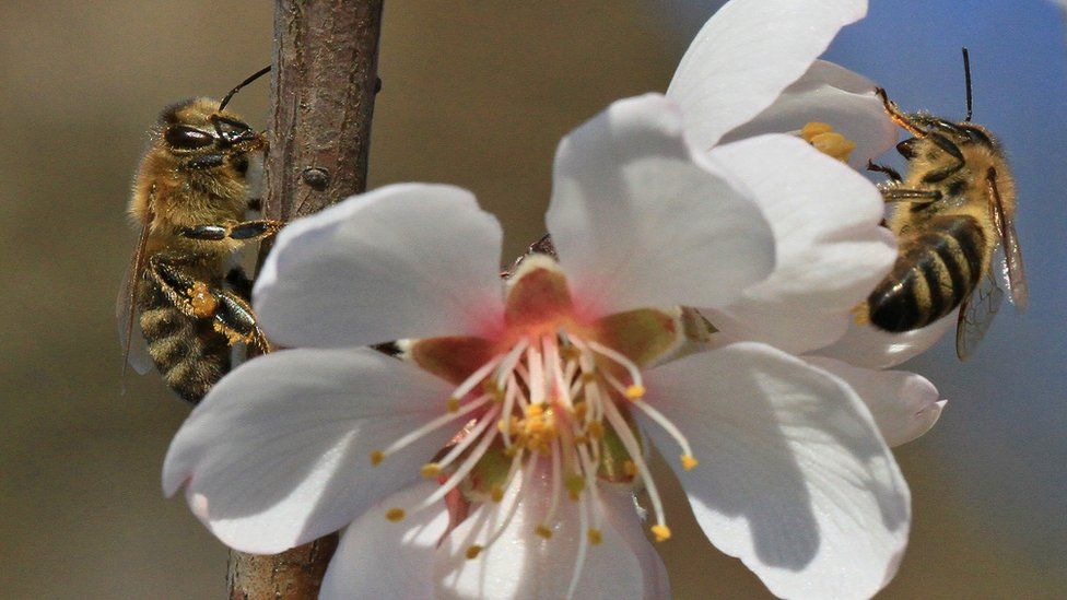 Honey bees on an almond flower