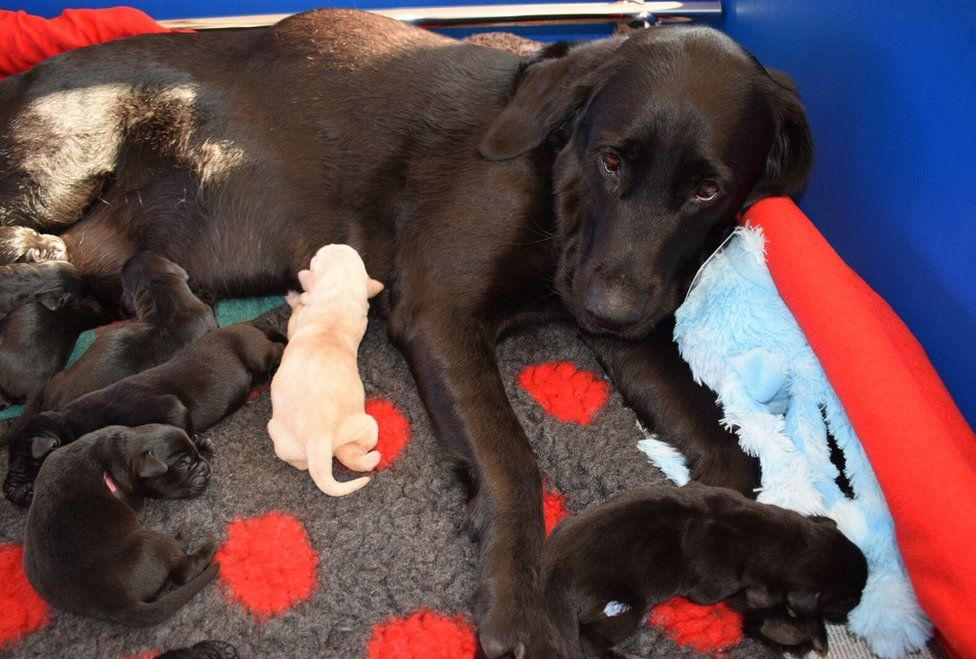 Abby lying down with her puppies