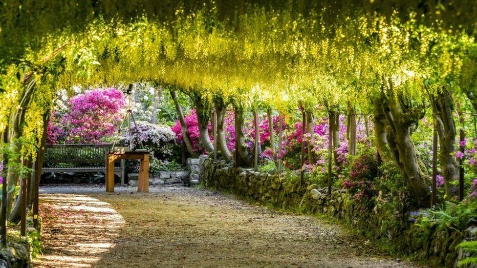The golden laburnum arch at the closed Bodnant Gardens, Conwy
