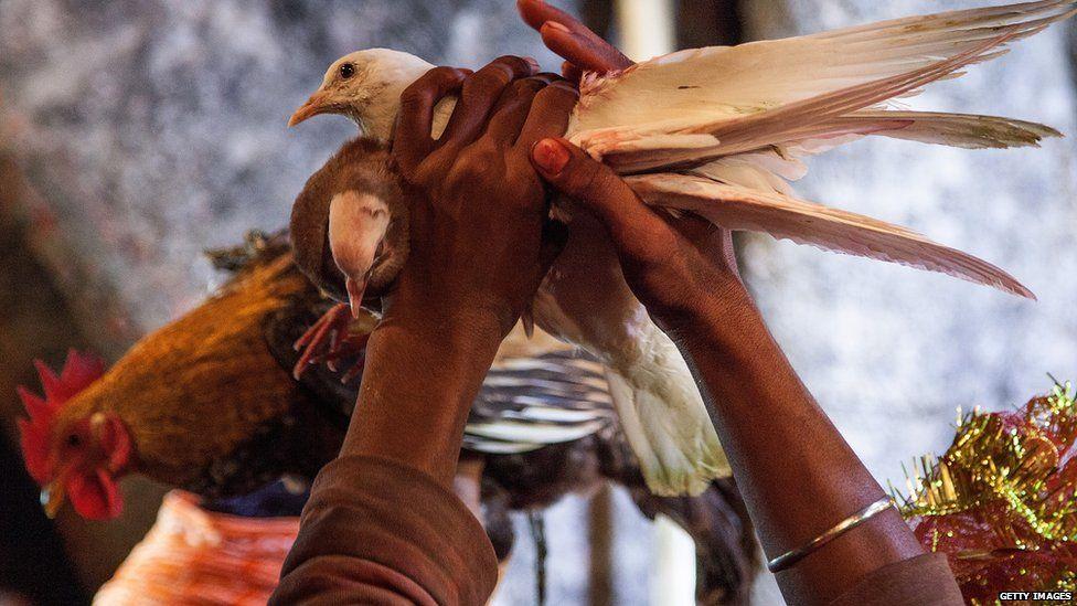 Birds to be sacrificed at the Gadhimai temple (Nov 2014)