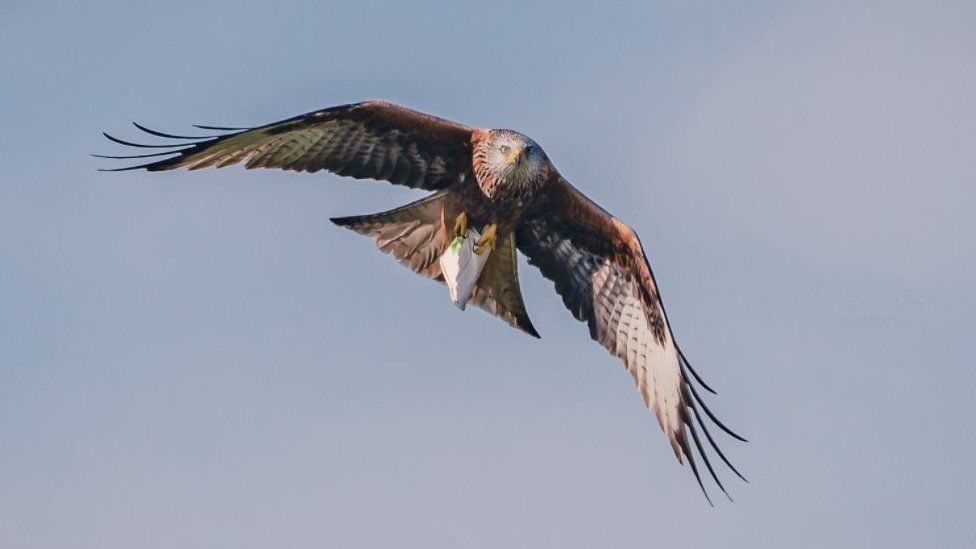 Red kite with cup in talons