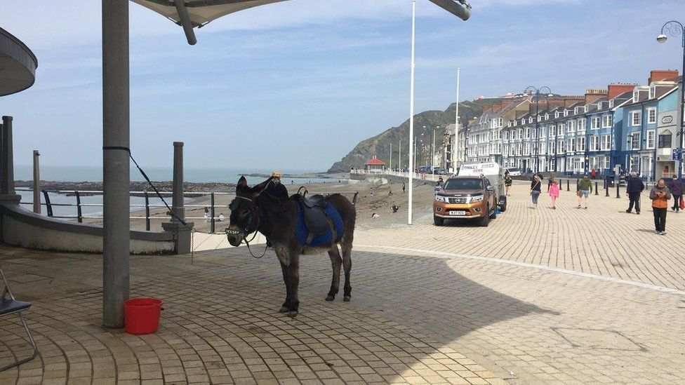 A donkey shelters from the sun on Aberystwyth front