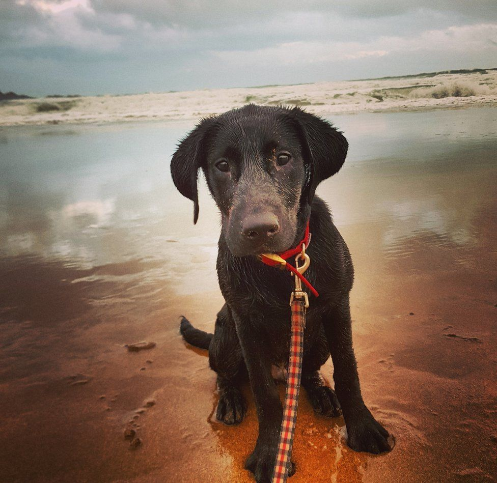 Labrador puppy on beach