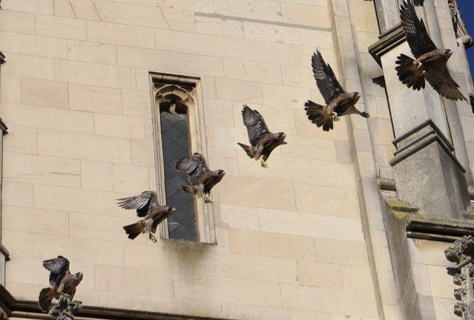 Composite image of falcon in flight