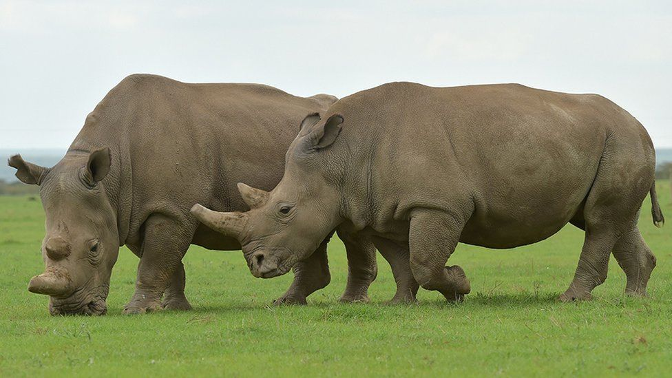 Najin and Fatu, the only remaining female northern white rhinos