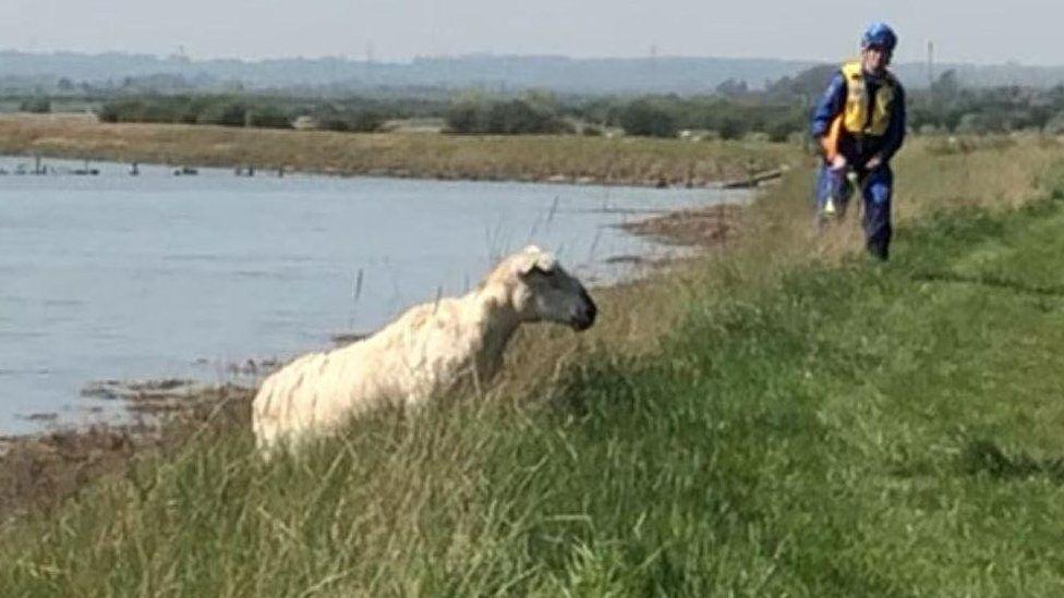 Sheep near sea