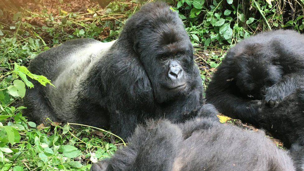 Mountain gorillas in Virunga national park, which is protected by Greentripper's project