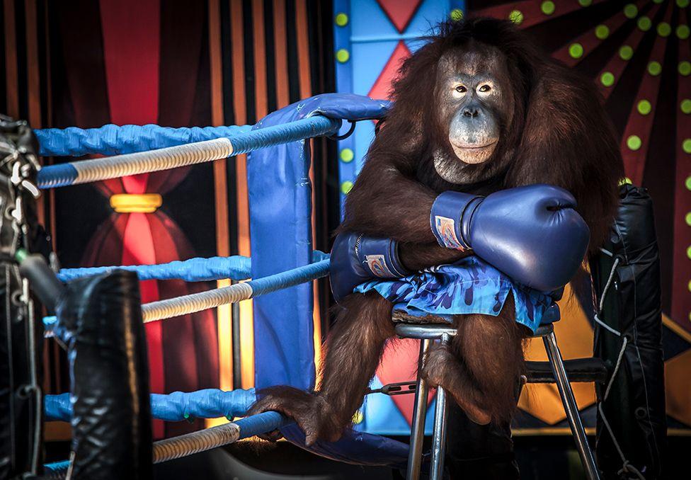 拳击手猩猩