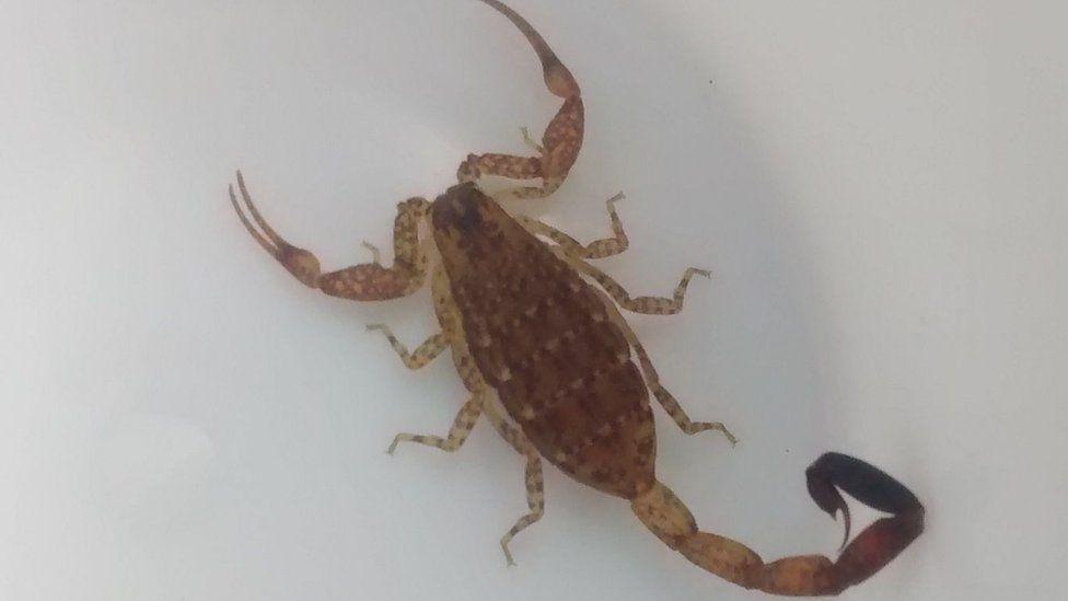 Orange scorpion