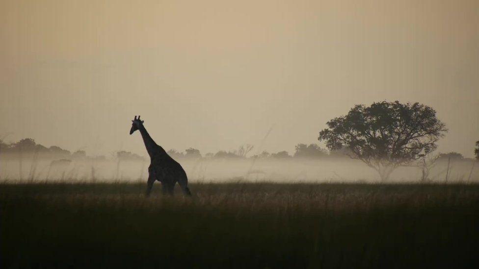 Giraffe roaming through Okovango wilderness in Angola, June 2016