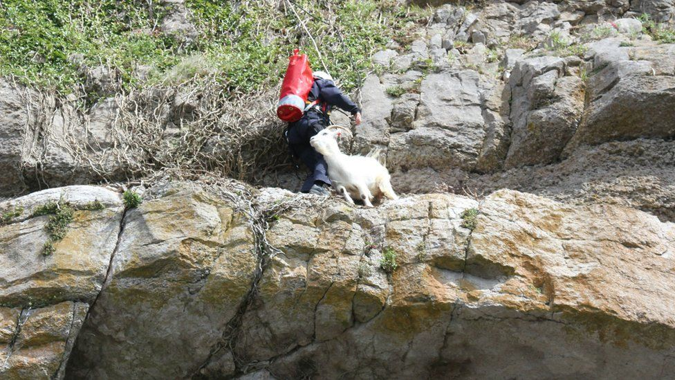 Goat being rescued