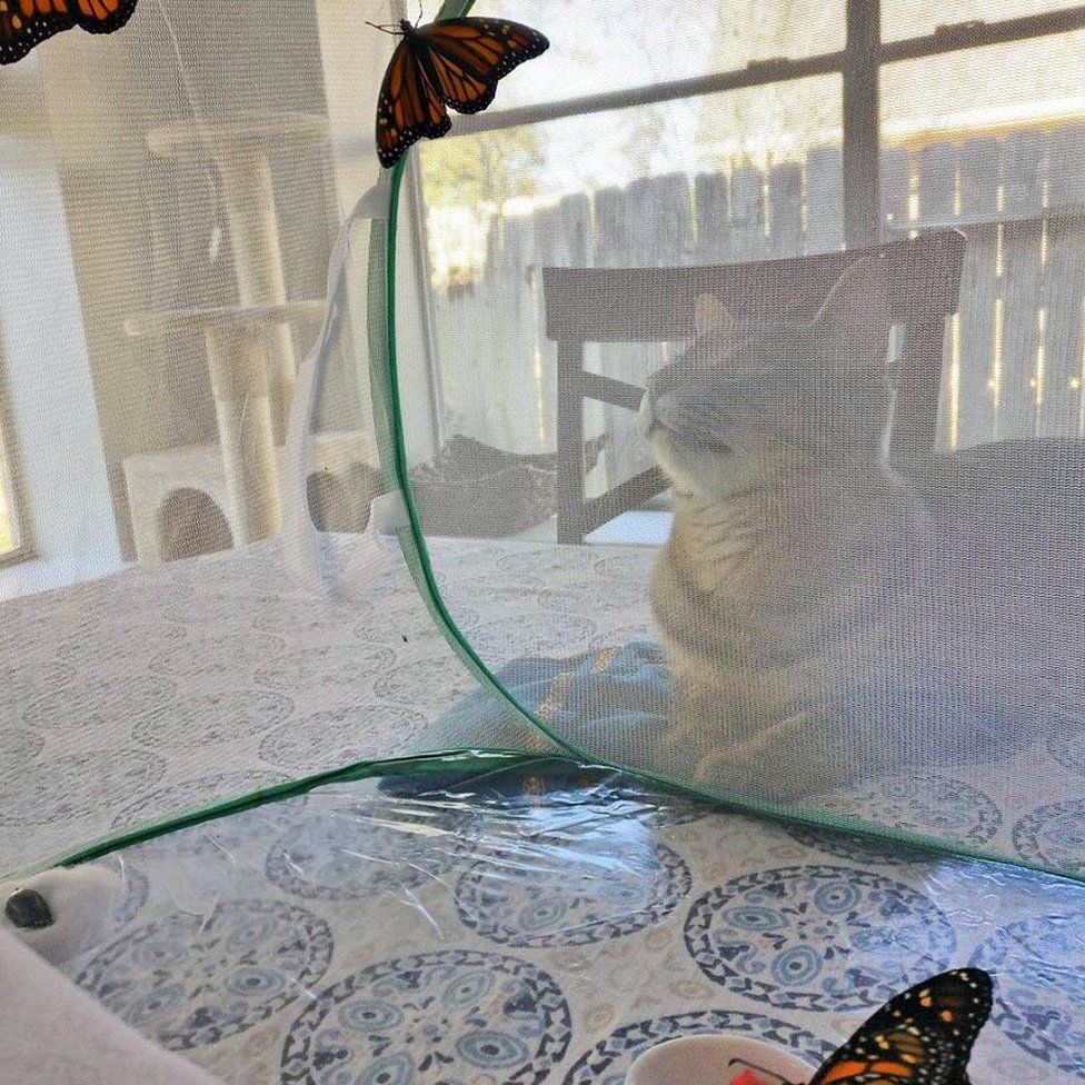 Floki the cat lying down looking at the butterfly enclosure