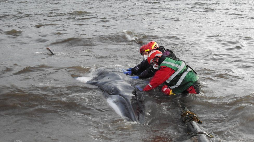 BDMLR volunteers rescuing a young minke whale